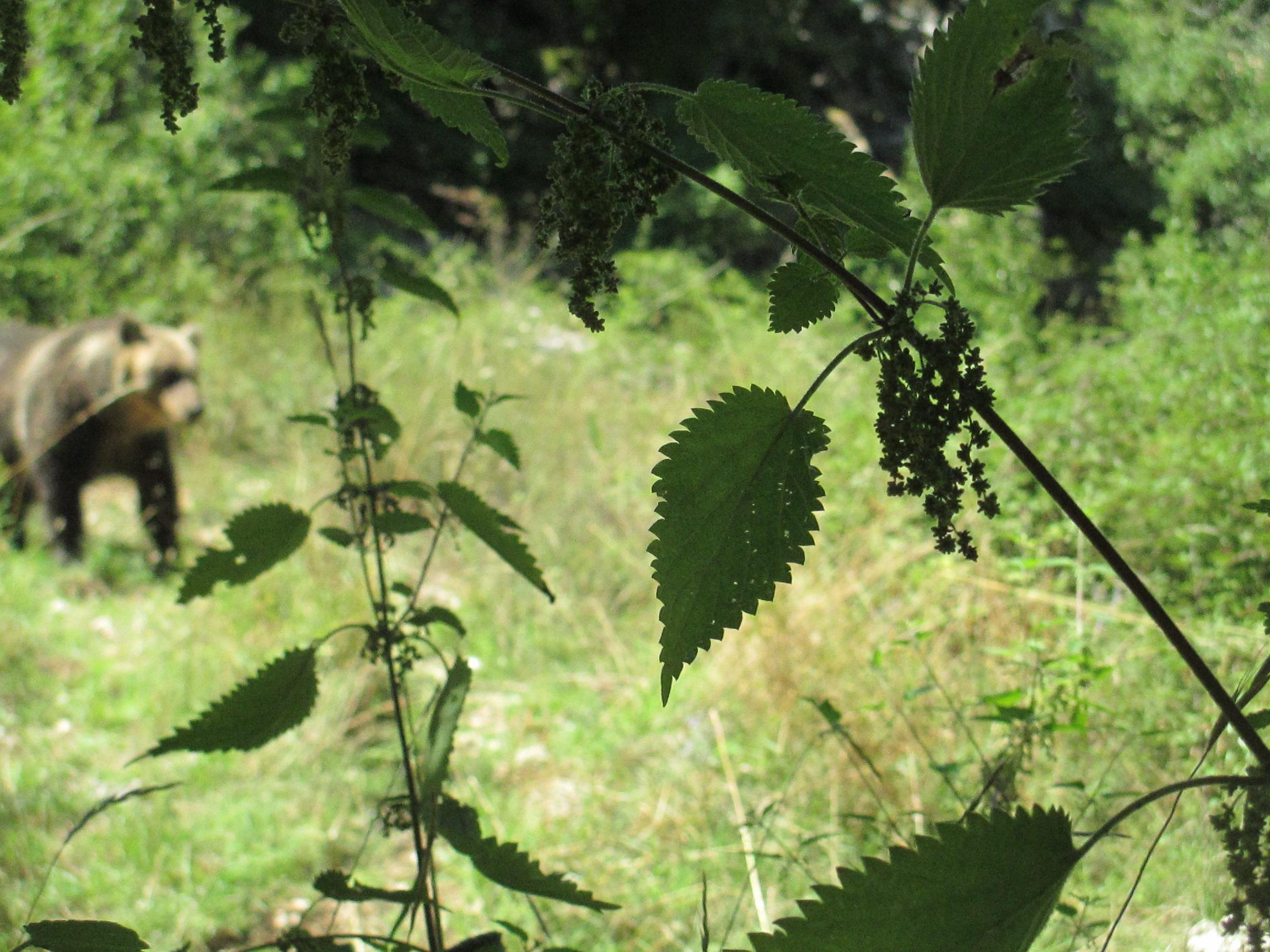 orso marsicano 2