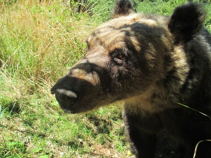 orso marsicano 3